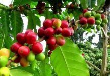 Coffea Arabica hakkında şu bilgilere yer vermektedir.