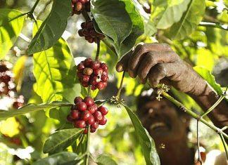 Robusta çekirdeklerinden üretilen kahve, Arabica'ya göre yaklaşık iki kat daha fazla kafein içerir. Robusta kahvesi dünya kahve üretiminin yaklaşık %30'unu oluşturur.