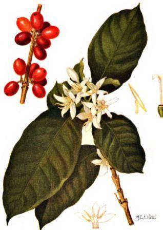 Kahve, içecek olarak karşımıza gelene kadar geçen süreçte ağaçların meyve haline gelmesi öncesinde kahve çiçeği olarak aşması ile yeni bir aşama kaydedilmiş olur.