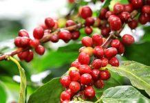 """Uzmanlar tarafından kahve meyvesi; büyüklüğü, şekli ve rengindeki benzerlikler nedeniyle """"kahve kirazı"""" olarak da adlandırılmaktadır."""