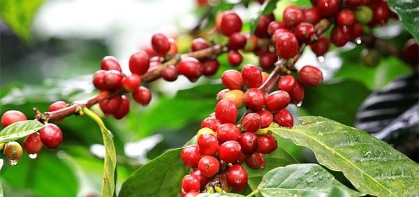 Uzmanlar tarafından kahve meyvesi; büyüklüğü, şekli ve rengindeki benzerlikler nedeniyle